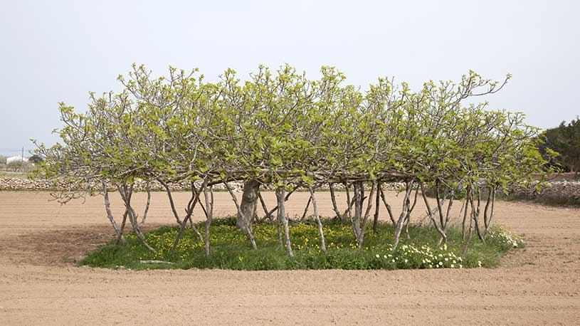 Higueras Estalonadas Formentera